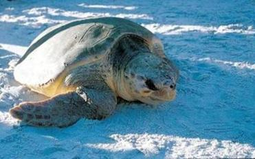 Guided watches are offered in summer on Florida's east coast where sea turtles come ashore to lay their eggs.
