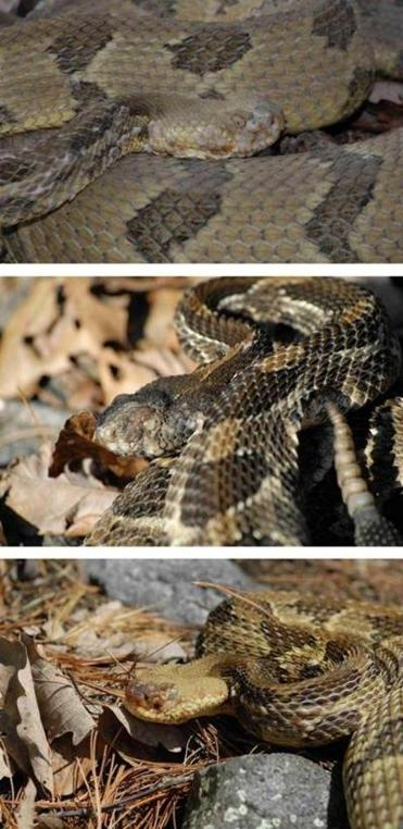 "The heads of these three timber rattlesnakes all show signs of the skin-eating fungus ""Chrysosporium ophiodiicola."""
