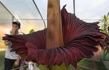 BG.COM STINK SLIDER 06/ 20/ 2012: Morticia the corpse flower has reared its stinky head at the Franklin Park Zoo. ( David L Ryan / Globe Staff Photo ) SECTION: METRO TOPIC21Mortica