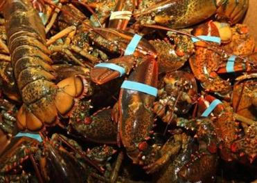 As lobster prices have plunged in a saturated market, the succulent treat has increasingly become a bargain.