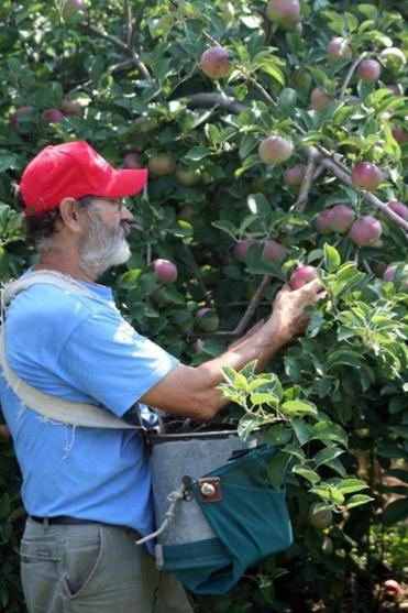 Tom Clark picks heirloom Roxbury Russets at Clarkdale Fruit Farms in Deerfield, in the family for four generations.