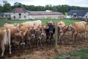 Jersey Cows at High Lawn Farm in Lee.