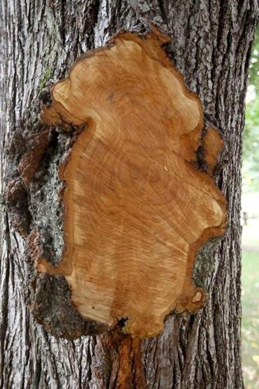 The burl was cut from this tree in Evans Way Park.