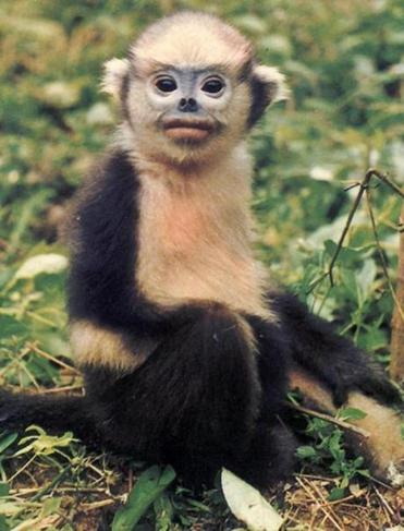 The Tonkin snub-nosed monkey of Asia is listed among the primates on the brink of extinction.