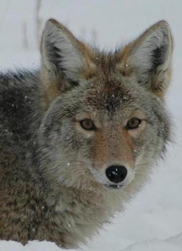 Wildlife Safari: A chance to see winter wildlife in Yellowstone.