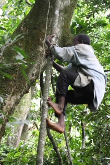The Twa of Uganda are able to bend their ankles to an extreme degree that lets them more easily climb to the highest treetops.