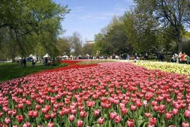"The Canadian Tulip Festival runs from May 3 to May 20 in Ottawa. A steady supply of tulip bulbs are provided to Canada's capital by the Netherlands in gratitude for the refuge it provided to members of the Dutch royal family during World War II. Another colorful highlight of Ottawa is Elgin Street, which has been called ""the boulevard of blooms."""