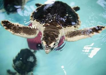 Almost 30 sea turtles were packed up at the New England Aquarium facility in Quincy and sent to Florida, where they will be released.