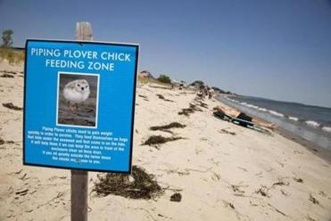 Life's a beach and then you fly: Some communities spend serious money protecting plover chicks until they're old enough to migrate.