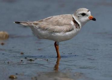 At least 18 piping plover nests were seen on the beach as of Thursday evening.