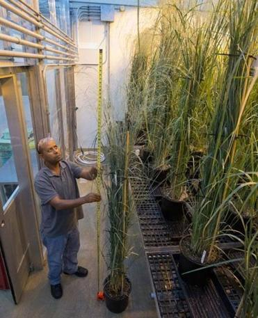 Dawit Abreham, a greenhouse research assistant at Metabolix in Cambridge, checked the height of genetically modified switchgrass.