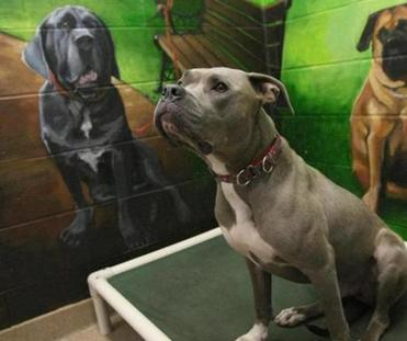 Mikey, a boxer/pit bull mix, sits by a mural of Blue, the dog that gave the shelter its name.
