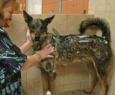 Groomer Kelli Ann Licano gives 'Rocket' a bath.