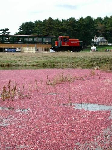 Cranberry bogs provide seasonal color at the Carver amusement park.