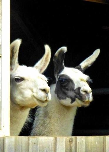 """Llamas have a personality like a cat,"" says Karen Seiffert."
