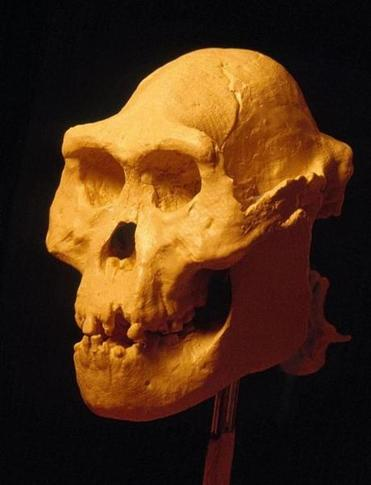 The fully restored skull.