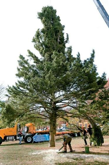 Boston's official Christmas Tree arrived on Boston Common from Nova Scotia on Nov. 15.