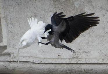 A dove which was freed by children flanked by Pope Francis during the Angelus prayer, was attacked by a black crow in St. Peter's Square, at the Vatican, on Sunday.