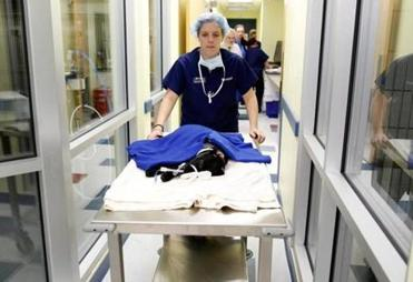 Veterinary Technician Jessica Foley, B.S., CVT wheels London out of surgery after her broken leg was fixed at the new MSPCA Angell animal hospita.