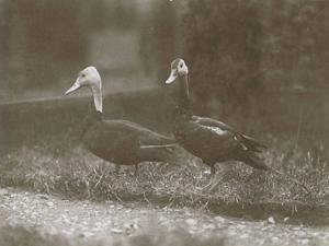 A pair of pink-headed ducks at Foxwarren Park in England in 1926.