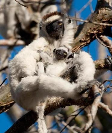 "A mother and baby Verreaux's sifaka (a type of lemur) in the fun-loving documentary ""Island of Lemurs: Madagascar."""