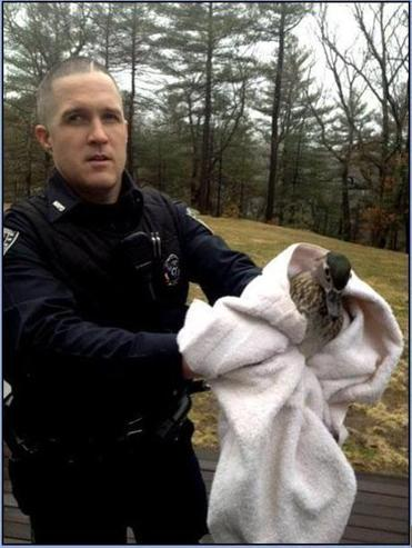 North Reading police Officer Greg Connolly corralled and released a duck that flew into a home near Swan Pond Saturday, April 5.