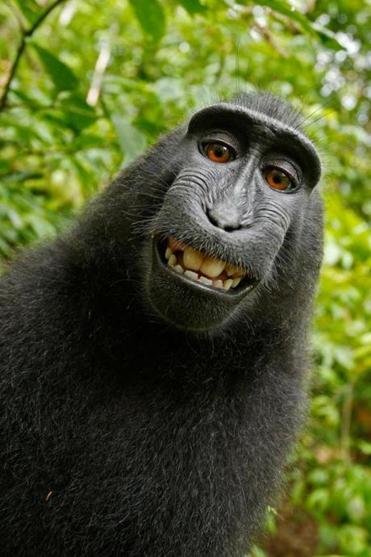 A debate has emerged about who owns the copyright to this monkey selfie.