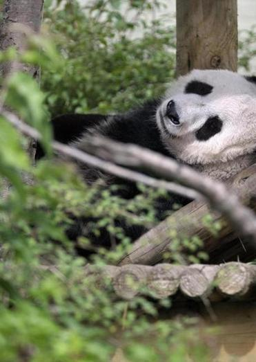 Tian Tian, A giant panda lent by China to Edinburgh Zoo, is believed to be pregnant and could produce a cub by the end of the month, the zoo said.
