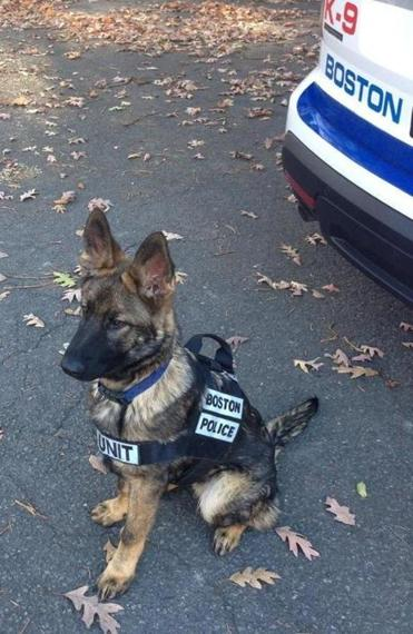 """Tuco"" almost fills up his vest at six months old."