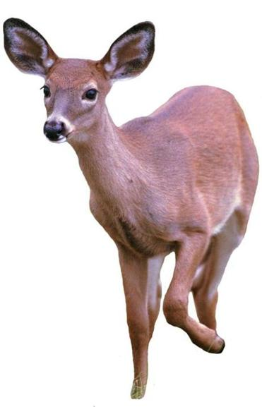 Deer hunting in the Blue Hills?