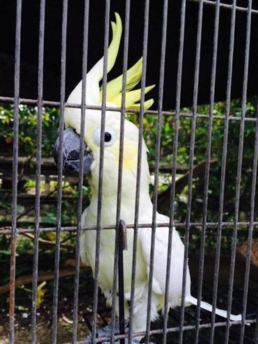 "01parrots - ""Cherokee"" is a friendly Citron cockatoo. (Nancy Heiser for The Boston Globe)"