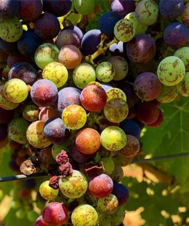 Grapes ripen in the 99-degree heat in Gauriac, France.