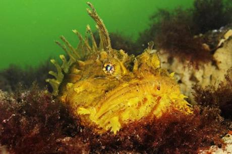 A Sea Raven rests on the ocean floor off the coast of Rockport, MA / Photograph by Brian Skerry / Magazine / 01/15/12