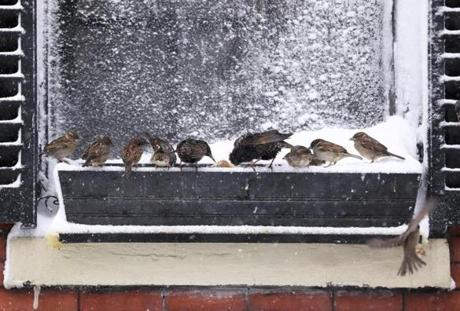 Something attracted birds to a snow-filled window box on Derne Street, behind the State House.