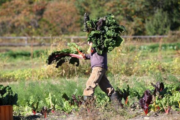 Swiss chard is harvested by Erinn Roberts, manager of the Lexington Community Farm, which has signed up 212 active shareholders.