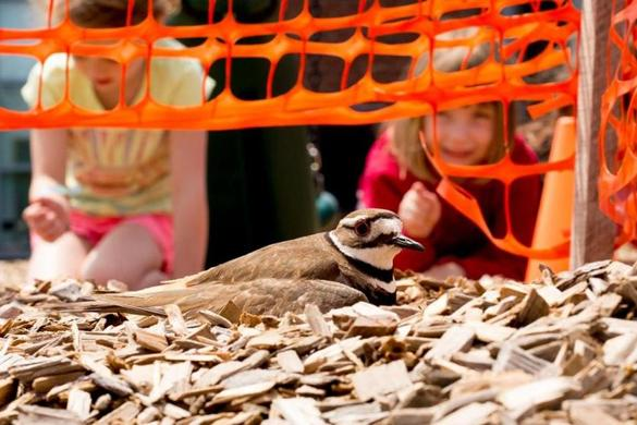 Students peeking at a nesting killdeer on the playground of the Westwood Integrated Preschool. Justin Saglio for The Boston Globe