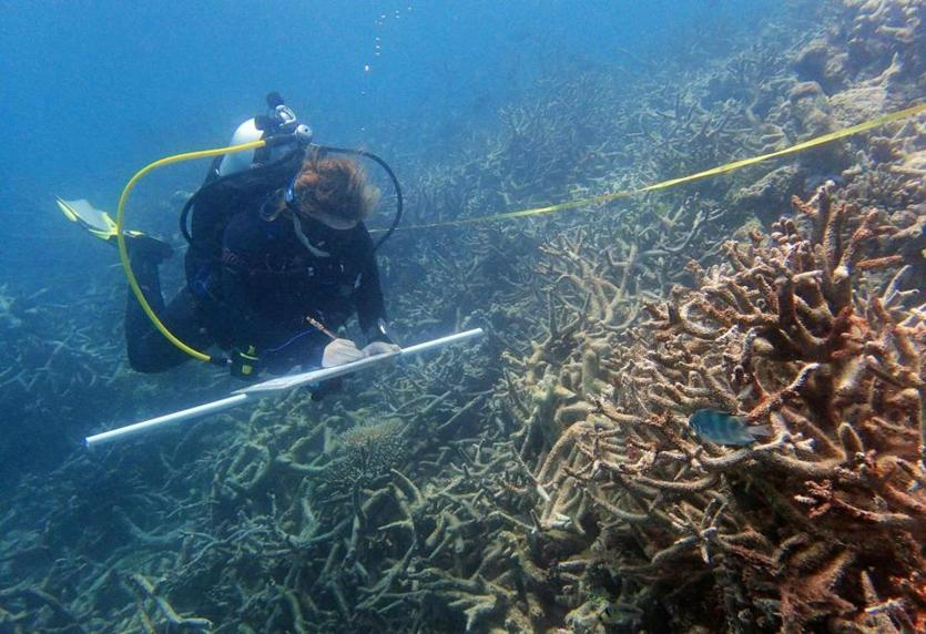 An undated handout photo received from the Australian Research Council Centre of Excellence for Coral Reef Studies on October 26, 2016 shows coral surveyor Margaux Hein swimming over a field of recently dead branching corals near Lizard Island. More corals are dying and others are succumbing to disease and predators after the worst-ever bleaching on Australia's iconic Great Barrier Reef, scientists said on October 26. / AFP PHOTO / Australian Research Council Centre of Excellence for Coral Reef Studies / Greg Torda / RESTRICTED TO EDITORIAL USE - MANDATORY CREDIT
