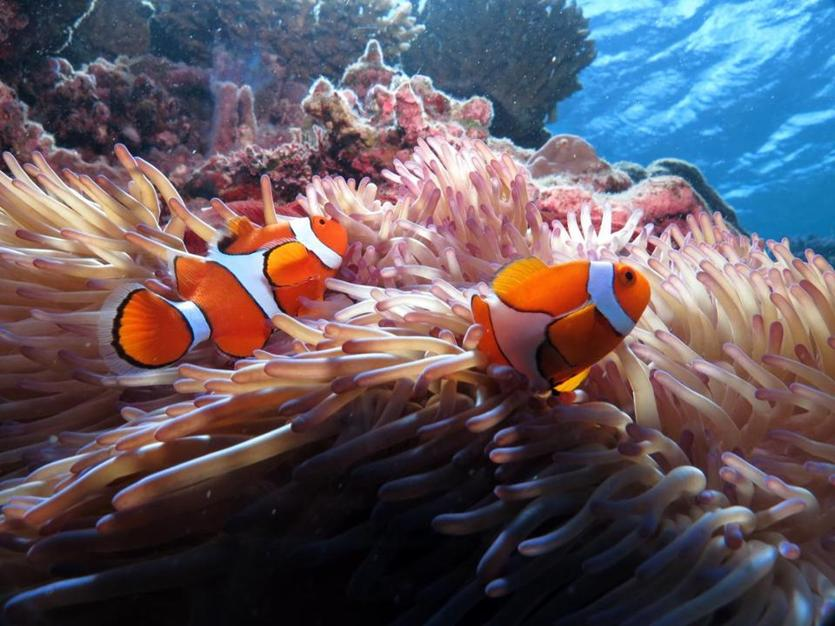 17downunder -- Clownfish at Great Barrier Reef. (Rick Warner)