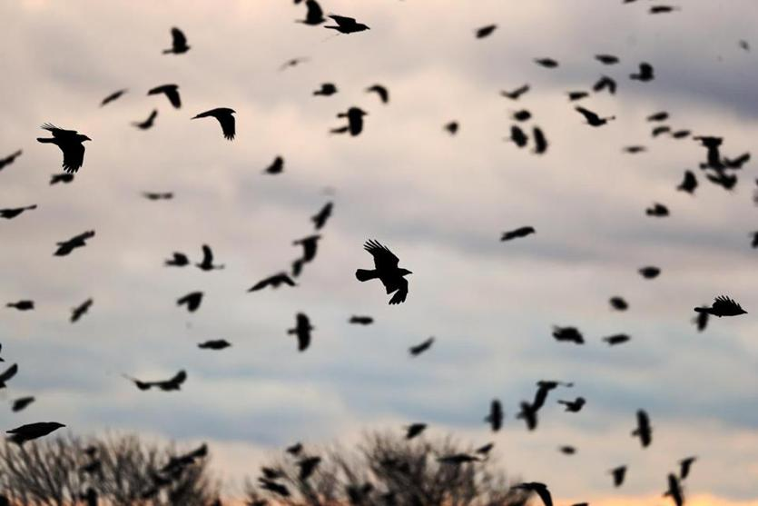 Lawrence, MA 01-08-19: Crows are pictured flying around near the South Lawrence Common at sunset. (Jim Davis/Globe Staff)