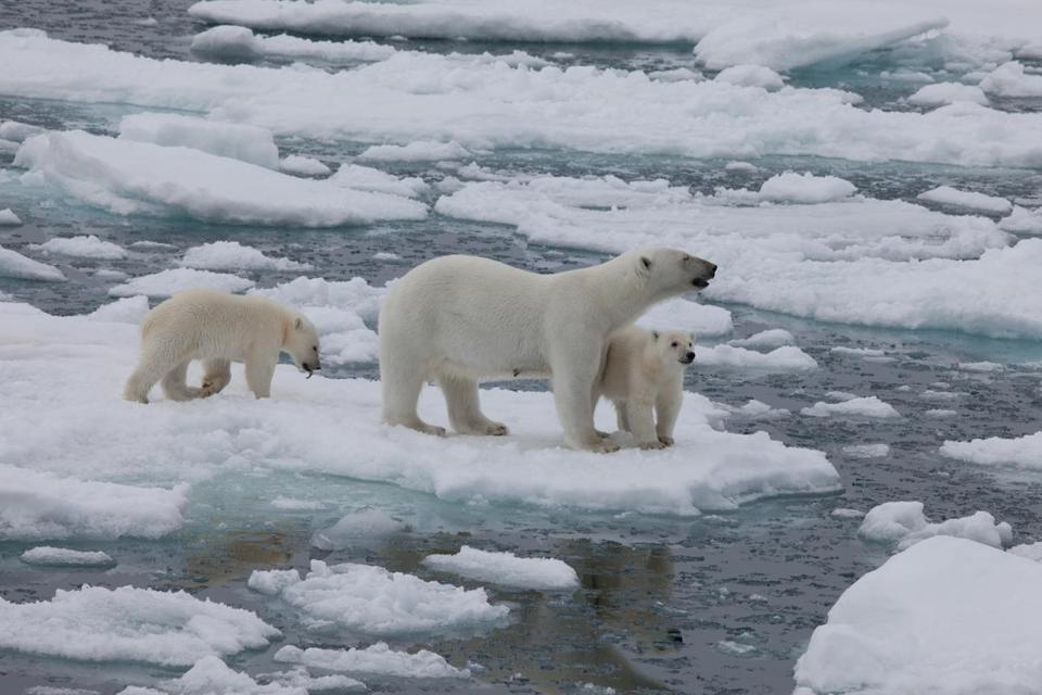 "A female and her cubs illustrate the polar bears' dilemma with melting ice in ""To the Arctic 3D.,"" narrated by Meryl Streep."