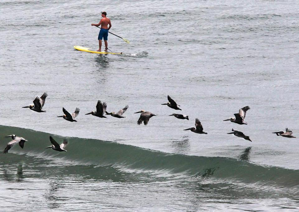 Blake Denman, 16, of Wenham paddleboarded past pelicans while on spring break in North Myrtle Beach, S.C., April 19, 2012.