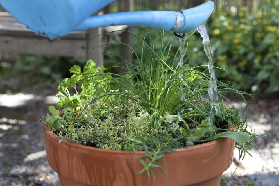 Into a deep planter (with a handful of balanced, organic fertilizer) grow golden lemon thyme, curly parsley, chives, creeping rosemary, and Greek oregano; watering is key.