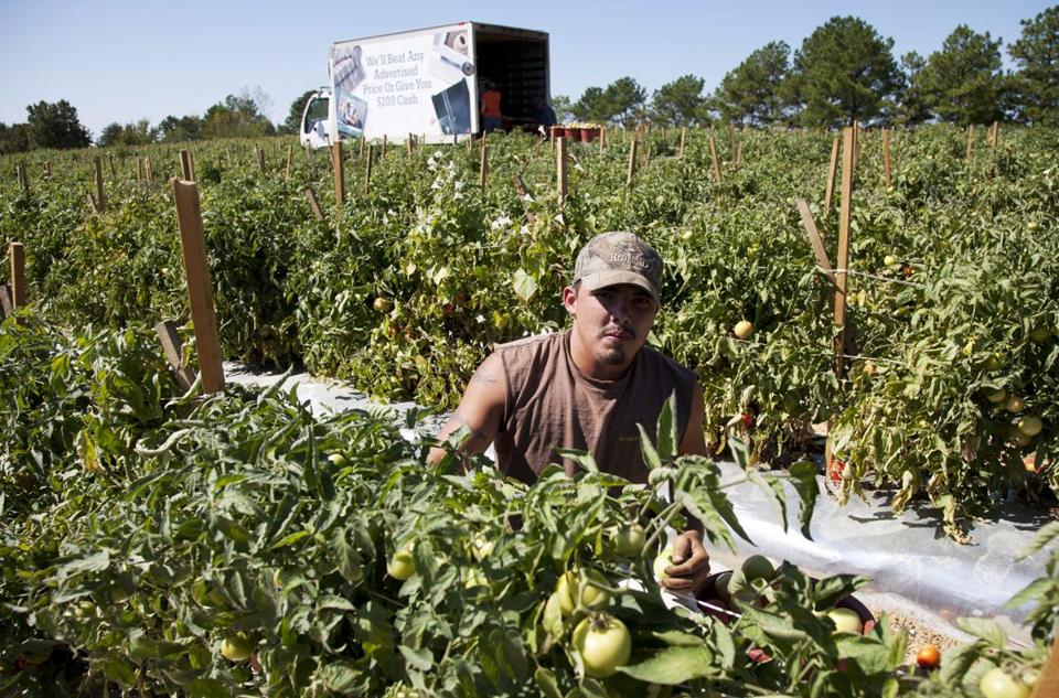 A lone worker picks tomatoes on an Alabama farm in 2011. Much of the crop rotted after migrant workers moved to other states when a strict immigration law took affect.