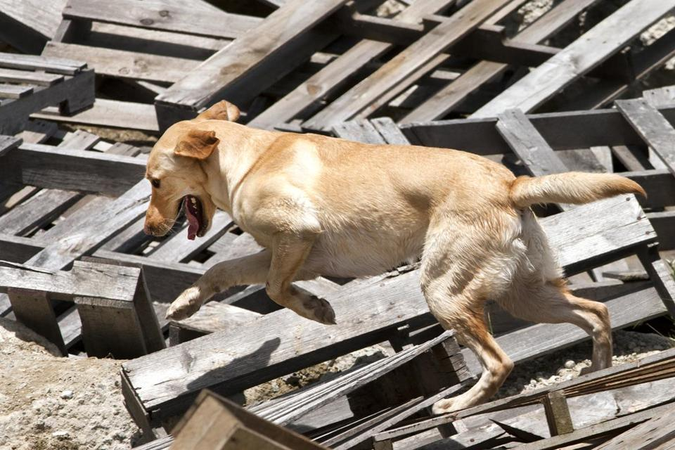 "Hank, a trained rescue dog from Colorado, looks for ""survivors"" under rubble during a certification exercise in Littleton last weekend."