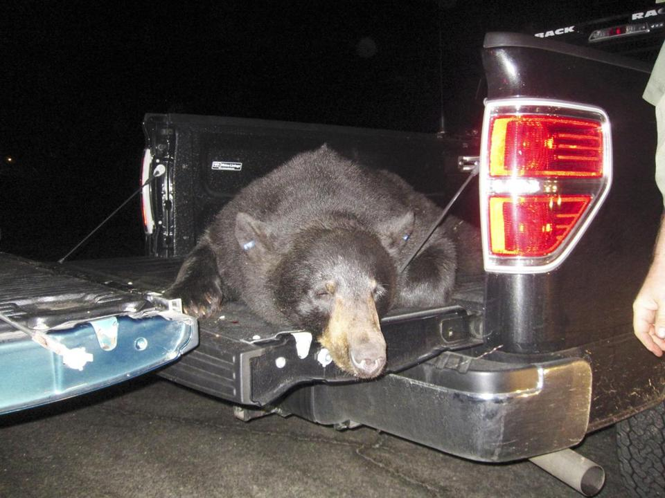 This black bear was tranquilized on Cape Cod after roaming there for weeks and released in Central Massachusetts.