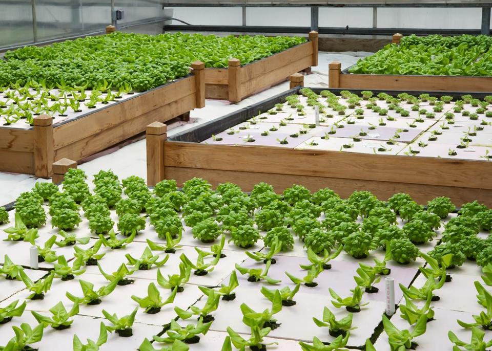 A greenhouse at Water Fresh Farm in Hopkinton has a variety of vegetables growing in a hydroponic medium, with no soil involved.