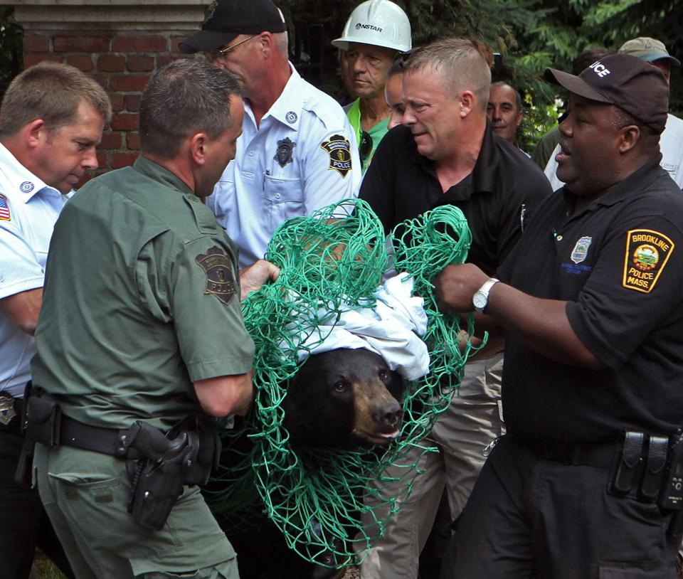 The 5-foot-tall black bear that had rambled around Cape Cod before being tranquilized and transported to Central Massachusetts two weeks ago made a return journey east, ascending a tall backyard tree in Brookline on Tuesday before being brought down by another tranquilizer dart.