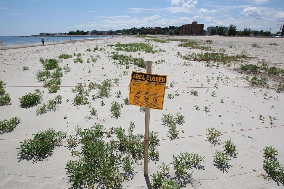 Sections of Revere Beach are roped off to protect the piping plover.