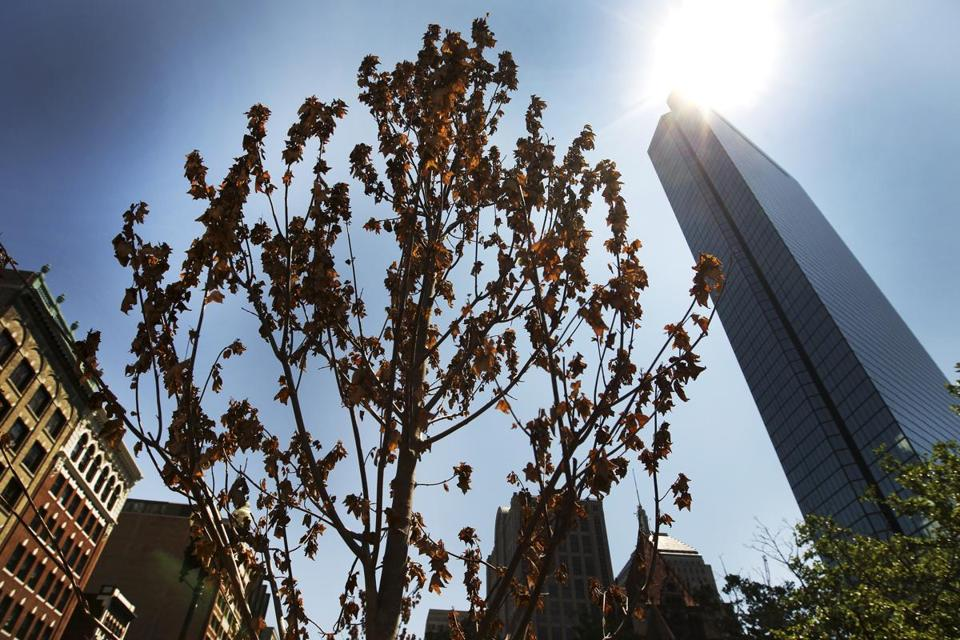 Recently planted trees in Copley Square replaced a grove consumed by a lethal fungus, but now sport dead leaves. Urban trees are subject to pollution, road salt, and acidic soil.