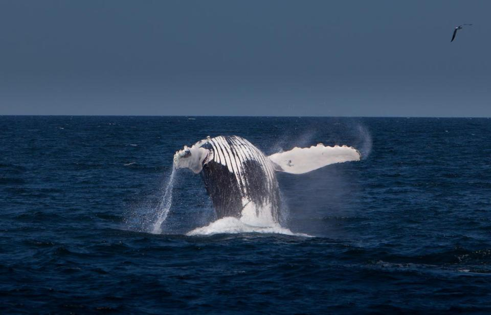 Entanglement can be a problem for whales, such as this one breaching  in Stellwagen.
